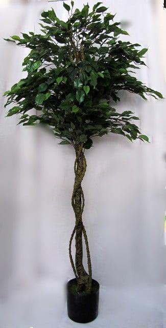 Фікус дерево D034