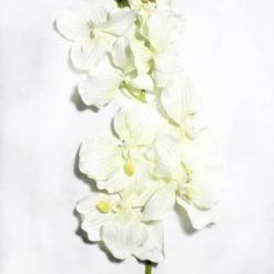 Орхідея К491